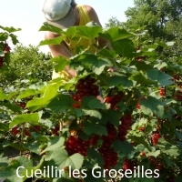 Fruit-Cueillette-Groseille